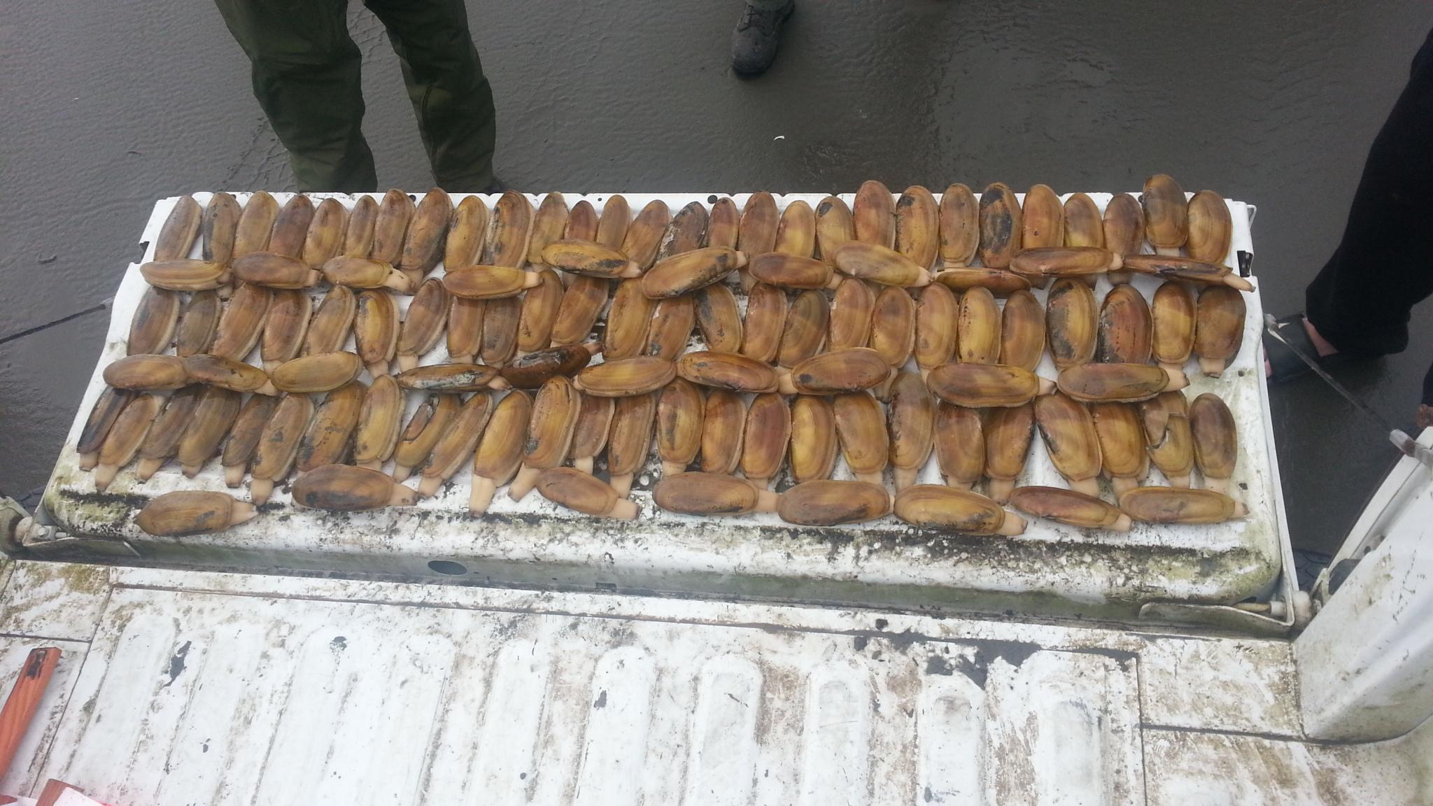 Razor Clam seizure from illegal harvest