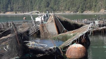Spilled Atlantic Salmon | Quinault Division of Natural Resources