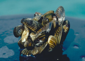 Quinault Invasive Species Program