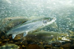 Farmed Atlantic Salmon | Quinault Division of Natural Resources