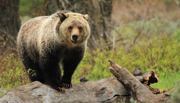 Grizzly Bear Protection Act