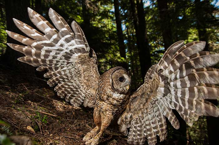 Northern Spotted Owls | Quinault Division of Natural Resources