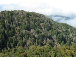 Fir Trees Infected by Sudden Oak Death   Quinault Division of Natural Resources