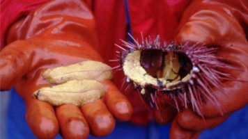 Sea Urchins Poaching | Quinault Division of Natural Resources
